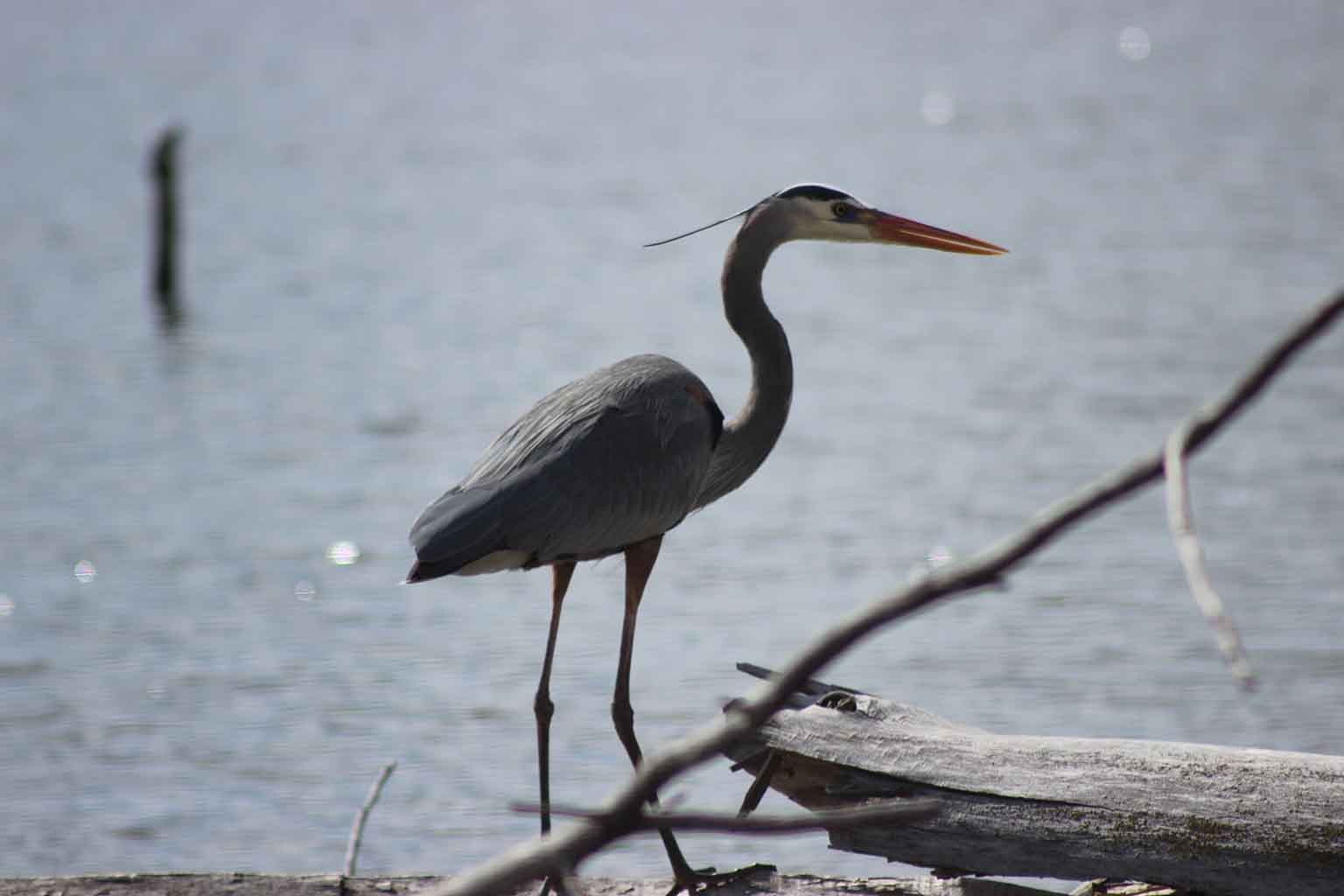 A blue heron stands at the water's edge